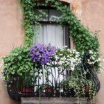 Plante agatatoare balcon