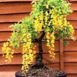 Bonsai cu flori galbene