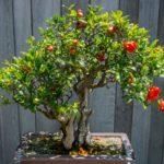 Bonsai cu flori rosii