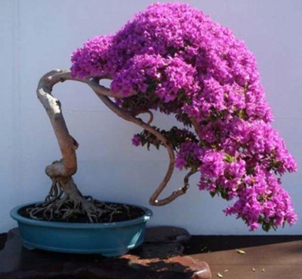 Bonsai cu multe flori