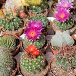 Gradina cu cactusi infloriti