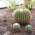 Gradina cu cactusi rotunzi