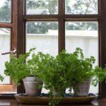 Plante aromatice la fereastra