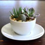 Plante suculente in cana