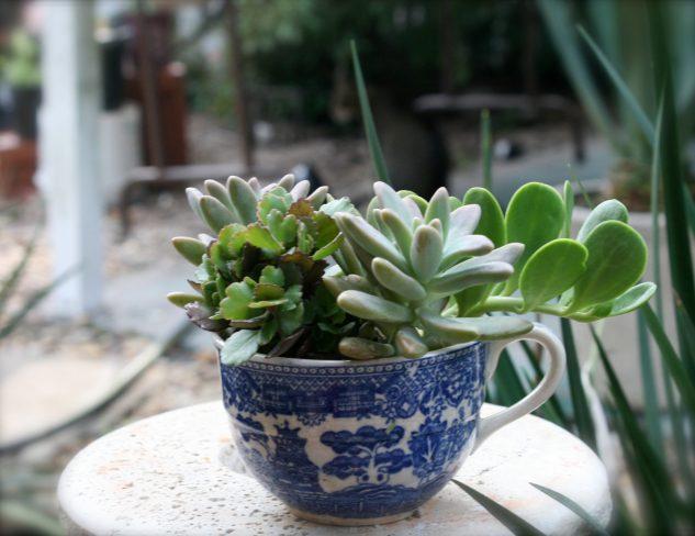 Plante suculente in cana de cafea