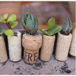 Plante suculente in dopuri de pluta
