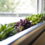 Plante suculente la ferestra