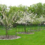 Pomi infloriti in gradina