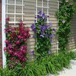 Plante agatatoare in fata casei