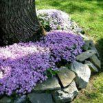 Flori mov care cresc la umbra