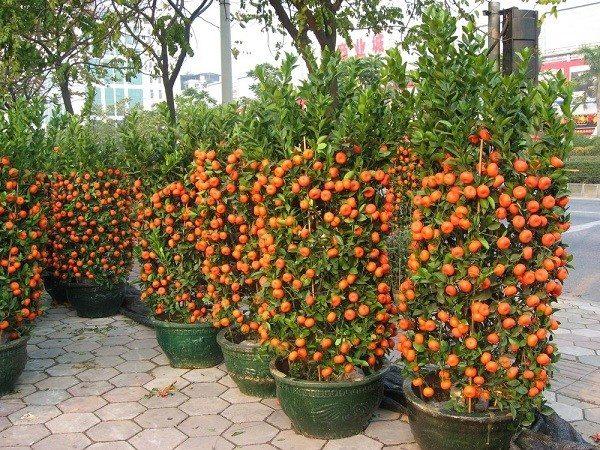 Mandarini crescuti in ghivece