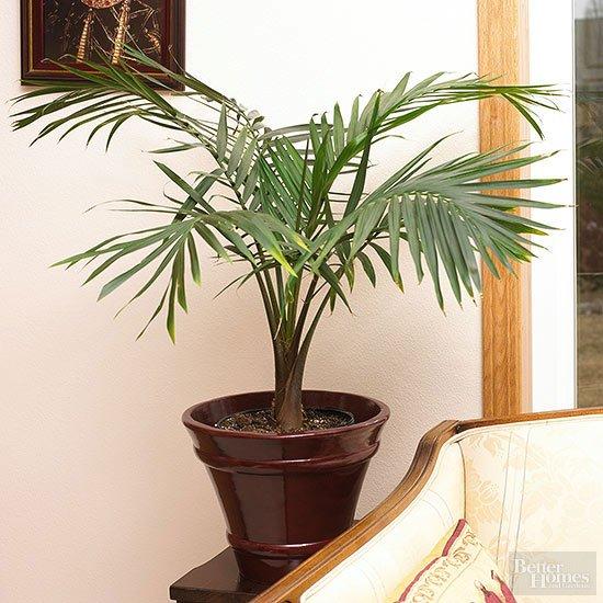 Palmierul pitic