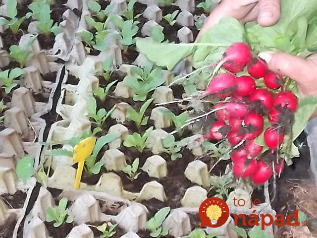 Ridichi cultivate in cartoane de oua