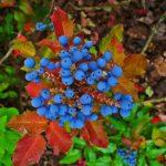 Arbusti Mahonia cu fructe