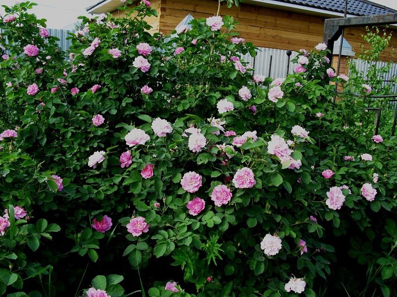 Arbusti gradina cu flori roz