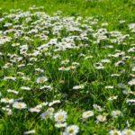 Covor iarba gradina cu margarete