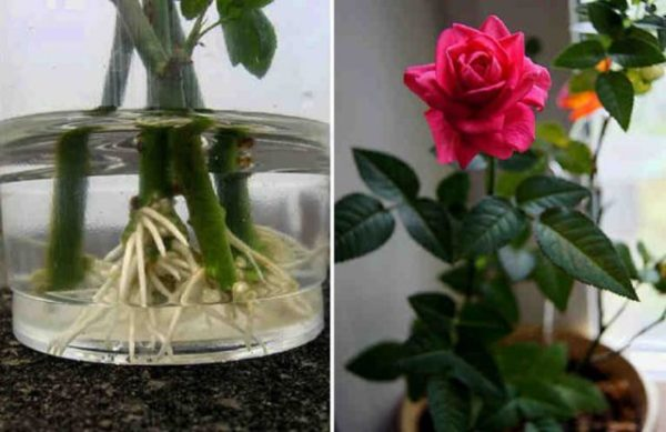Plantare trandafiri din buchete