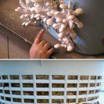 Cultivare ciuperci in cos de rufe