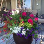 Flori colorate in ghiveci