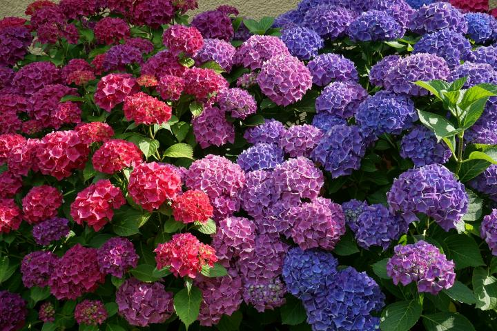 Hortensii ros si albastre