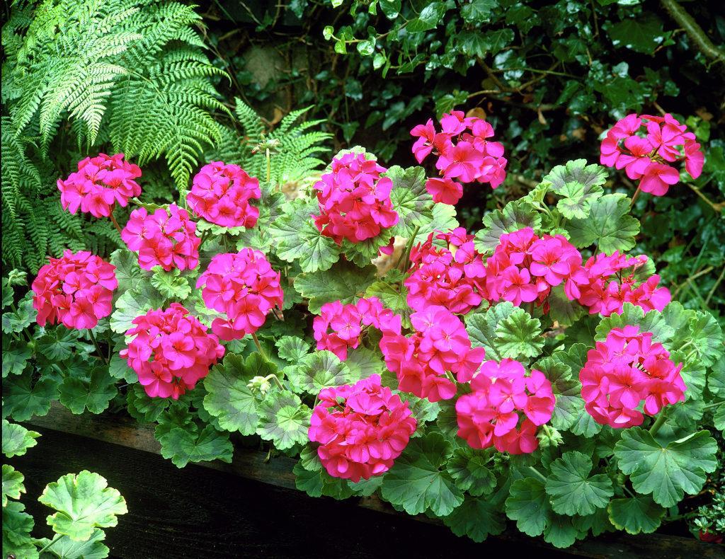 Muscata-obisnuita-geranium-roz