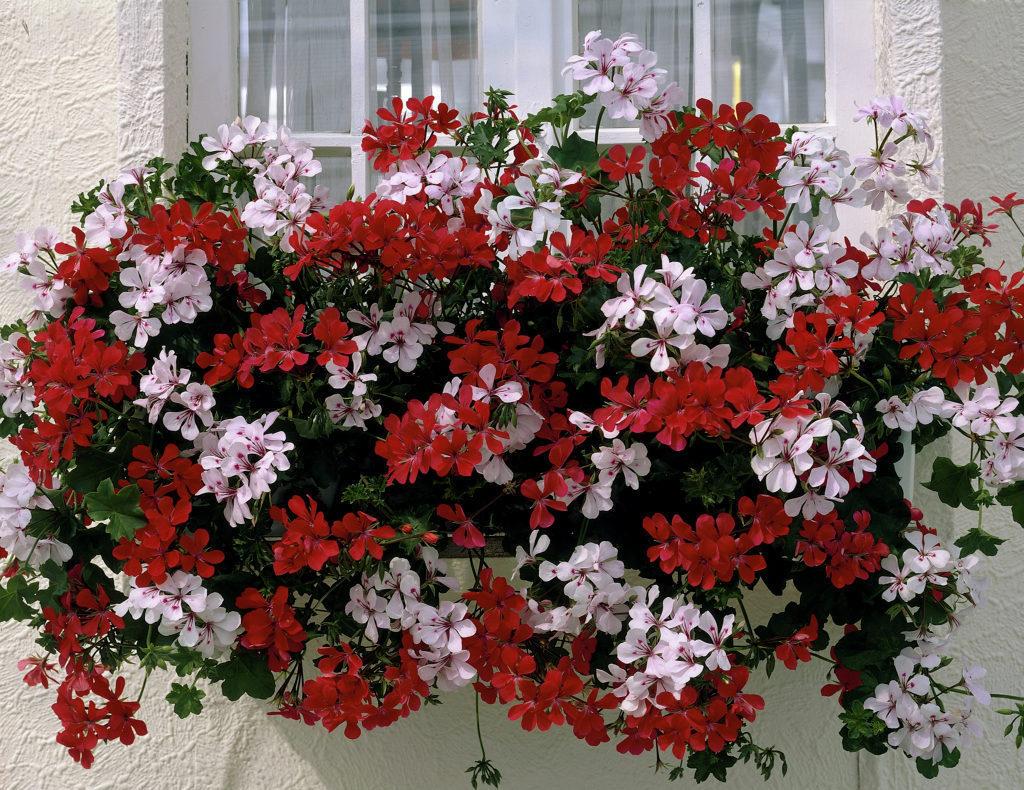 Pelargonium peltatum Coccorino