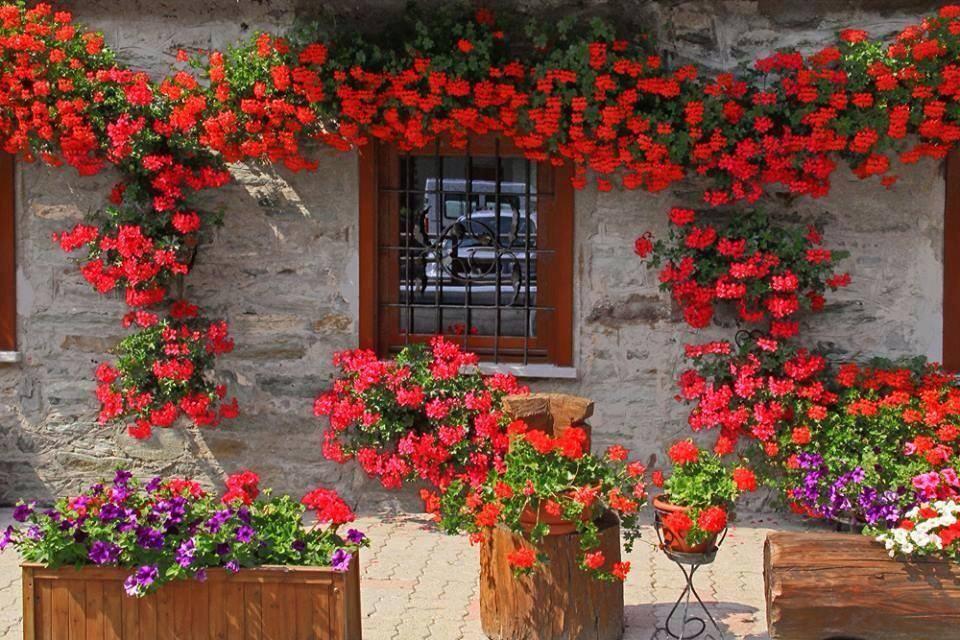 Muscate curgatoare rosii Pelargonium peltatum