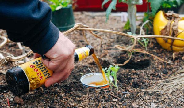 bere ca fertilizator