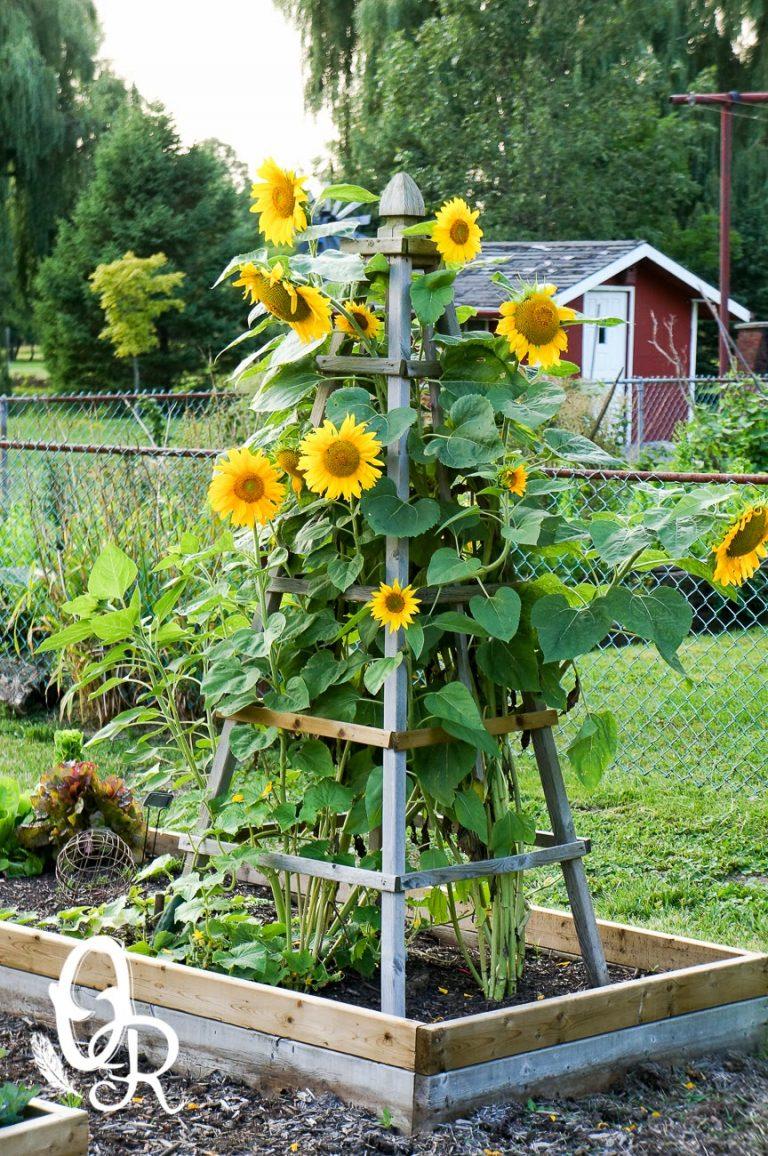 Amenajarea unui rond de floarea soarelui