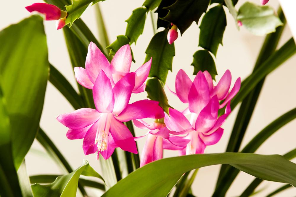 Cactusul de Craciun – Schlumbergera truncata