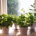 Ingrijirea plantelor la ghiveci