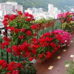 Muscate-rosii-la-balcon