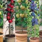 Pomi-fructiferi-la-ghiveci