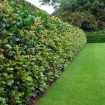 Prunus laurocerasus sau laurul englezesc