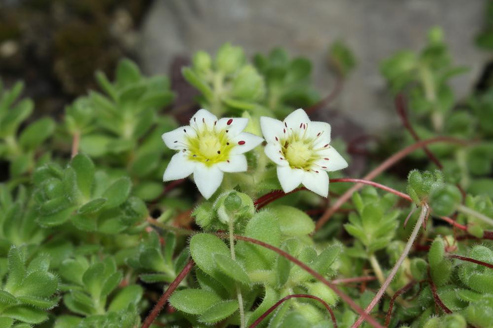 Rosularia sempervivum