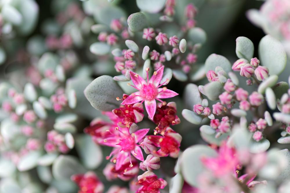 Sedum sieboldii – Hylotelephium sieboldii