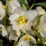 Trandafirul Craciunului – Helleborus niger